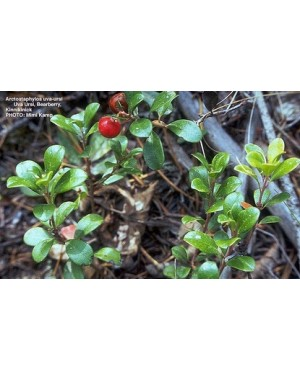 Arctostaphylos uva–ursi